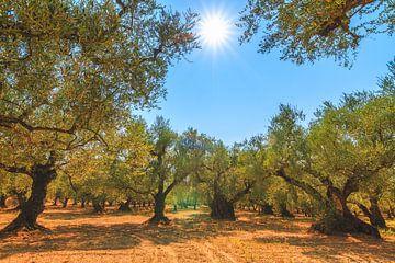 Olivenbäume in Zakynthos von