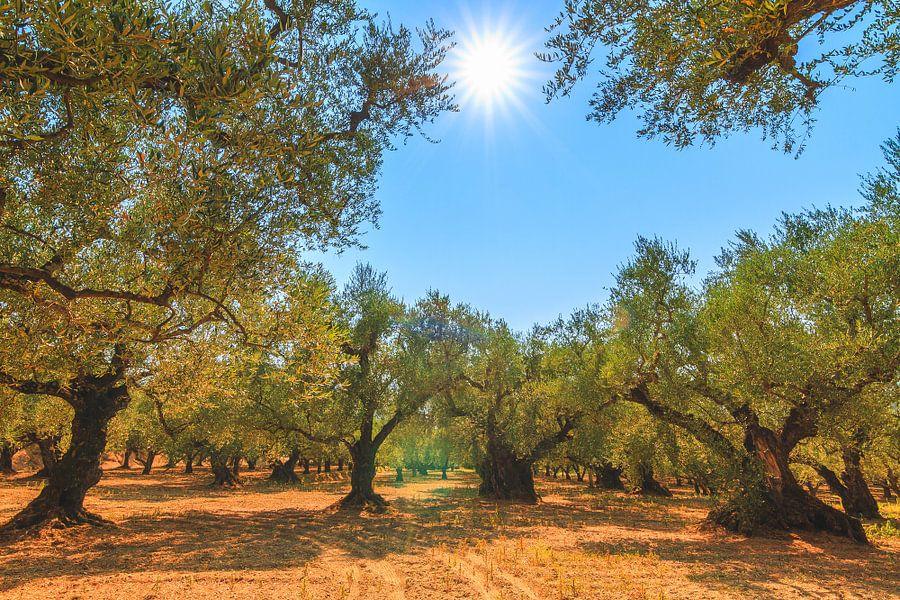 Olijfbomen Zakynthos van Dennis van de Water