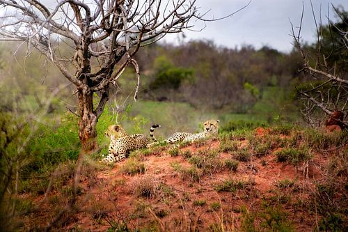 Cheetahs at rest van