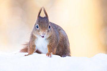 Lachende eekhoorn in sneeuw van Cindy Van den Broecke