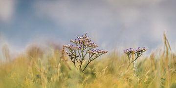 La lavande de mer, une plante commune dans la région de la mer des Wadden