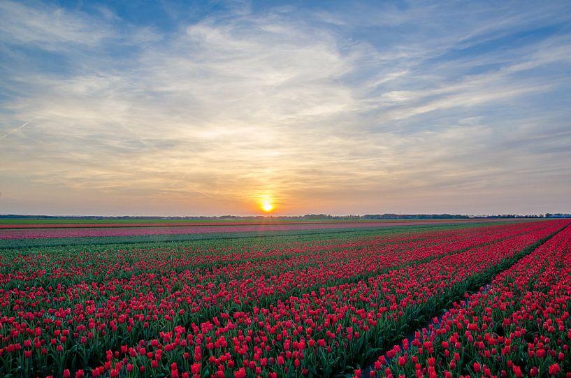 Rode tulpen van Rene Mensen