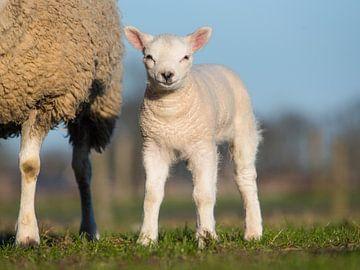 Weißes Lamm von Elles Rijsdijk