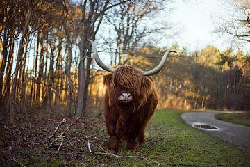 """Schotse hooglander """"Named The KING"""" van Truckpowerr"""