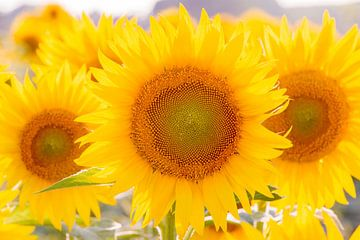 Zonnebloemen van Jenco van Zalk