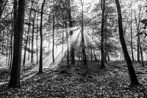 zonnestralen in het bos (zwart wit)