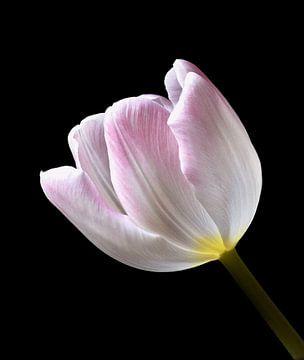 Tulp 2 von Jonathan Kremer