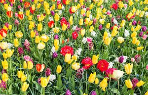 gele en rode tulpen in de bollenvelden