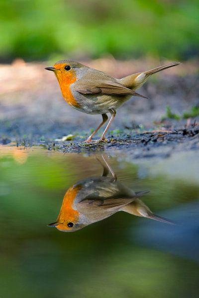 Roodborst reflectie van IJsvogels.nl - Corné van Oosterhout