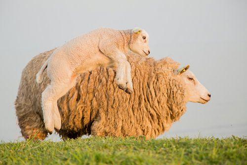 Lammetje maakt lentesprongetje