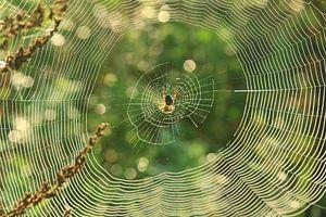 Spin op een web
