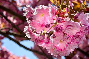 Pink prunus tree flowers