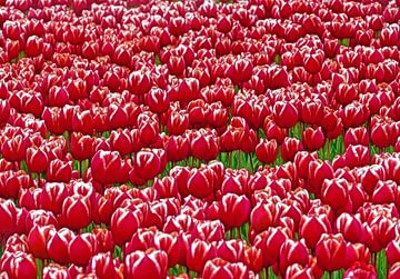 Red Tulips van Caroline Lichthart