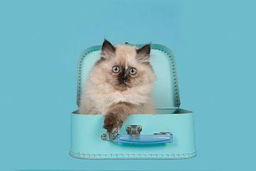 Kitten met blauwe ogen in blauwe koffer van