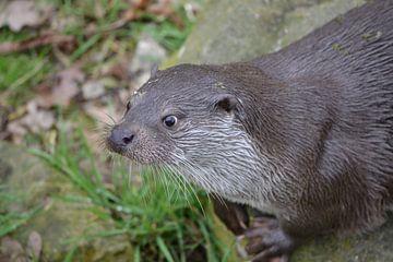 Europese otter (Lutra lutra) van