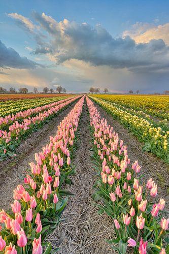 Tulpenveld in het Rijnland