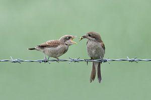 Neuntöter ( Lanius collurio ), Weibchen füttert bettelnden Jungvogel, wildlife, Europa.