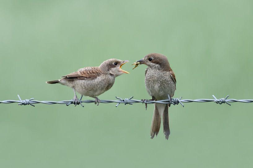 Neuntöter ( Lanius collurio ), Weibchen füttert bettelnden Jungvogel, wildlife, Europa. von wunderbare Erde