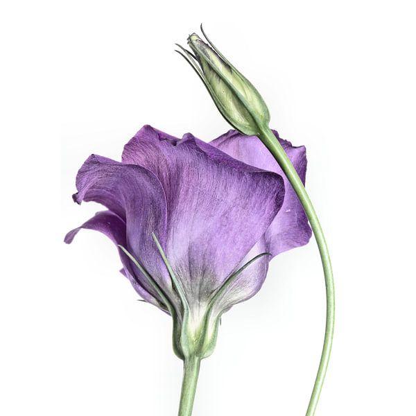 Purple Princess... (bloem) van Bob Daalder