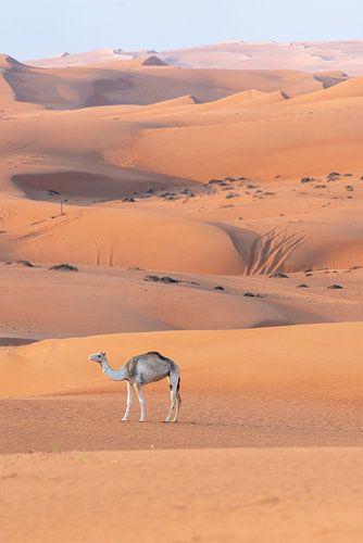 Dwalende Kameel in de Woestijn