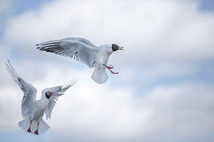 Battling Birds