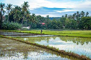 Werkende man in de rijstvelden van de Filipijnen van