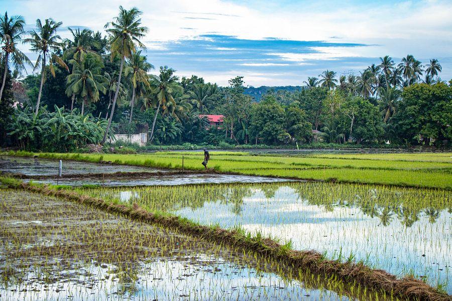 Werkende man in de rijstvelden van de Filipijnen