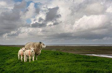 Schapen op de Waddendijk in de provincie Groningen van