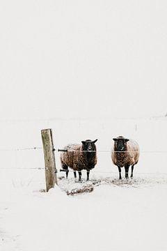 Neugierige Schafe im Winter | Outdoor-Fotografie von Holly Klein Oonk