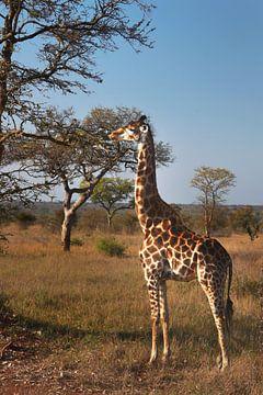 Giraffe by the tree van