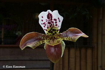 Orchidee de Venusschoentje van Koos Koosman