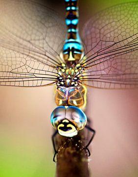 Libelle closeup