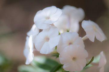 phlox blanc sur Tania Perneel