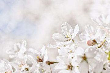 Weiße Kirschblüte von Caroline van der Vecht