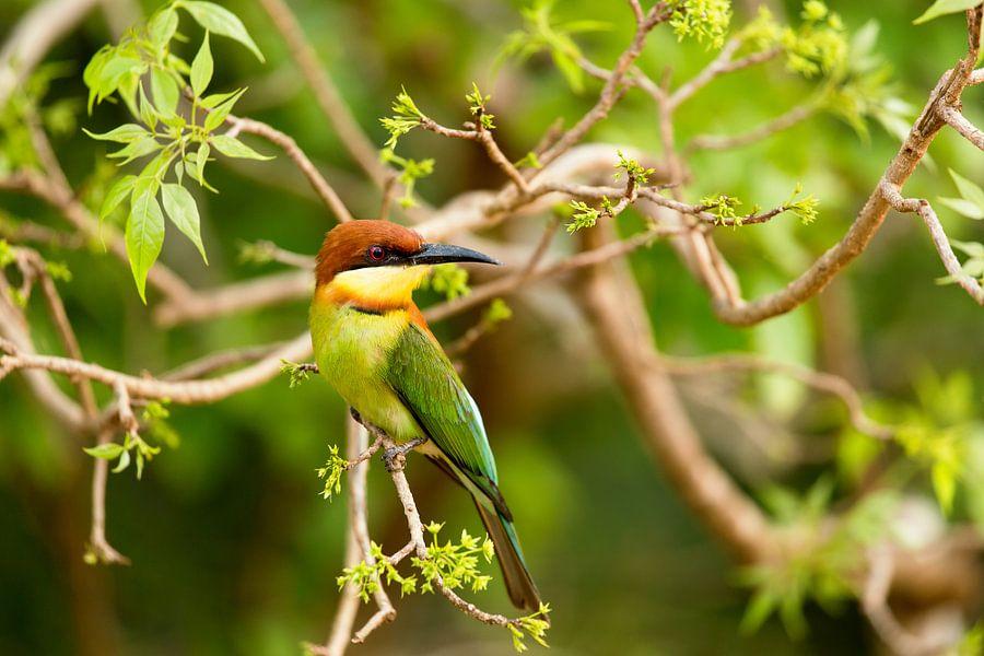 Vogel Sri Lanka van Gijs de Kruijf