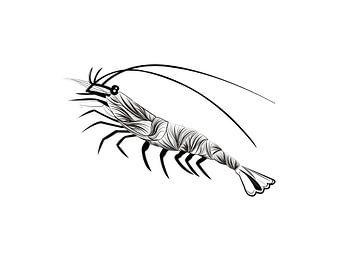 Poster Garnelen - Meerestiere von Studio Tosca