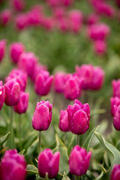 Lila Tulpen in einem Blumenfeld | Fine Art Naturfoto | Botanische Kunst von Karijn | Fine art Natuur en Reis Fotografie