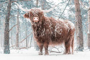 Schotse Hooglander in de sneeuw in een bos tijdens de winter van Sjoerd van der Wal