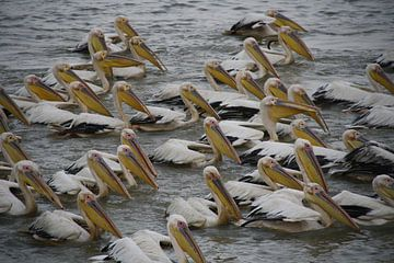 Vissende witte pelikanen van