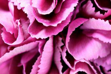 Pink Carnation von Frits Vrielink
