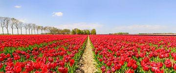 Tulpen wachsen in einem Feld mit einem Weg durch die Blumen von Sjoerd van der Wal