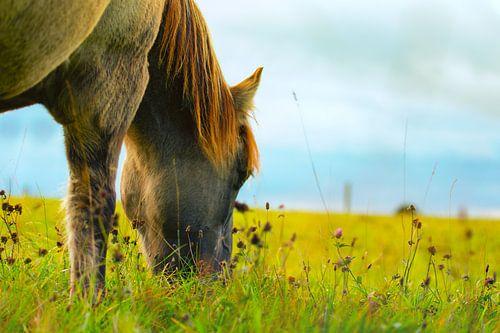 Dülmener Pferd am Grasen