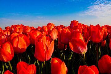 Feld mit roten Tulpen von Yvonne Verlaan