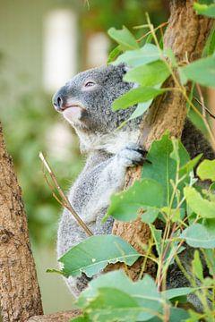 Koala beer uitkijkend in boom van