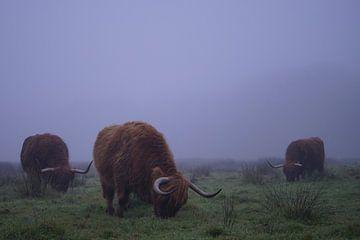 schotse hooglanders in de mist van peter meier
