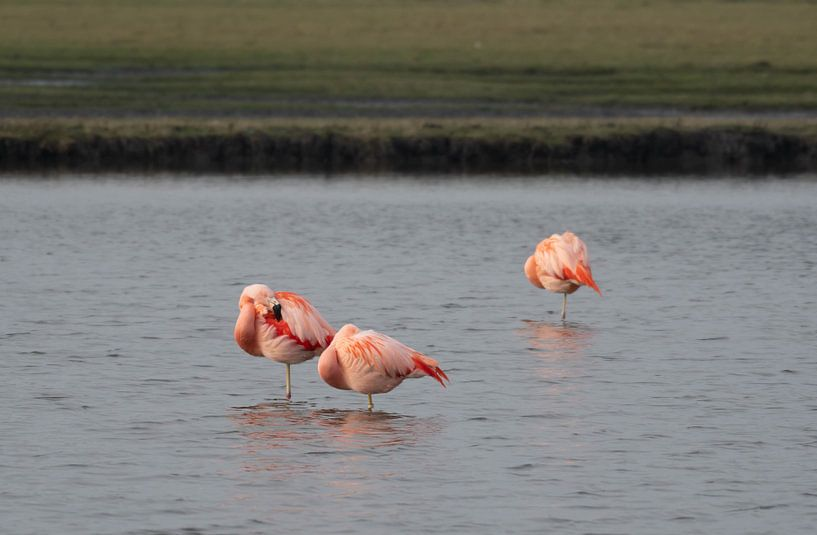 Flamingo von Merijn Loch