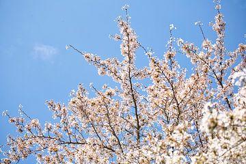 Weiße Blüten und ein klarer blauer Himmel von Lindy Schenk-Smit
