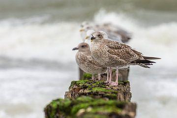 Meeuwen op een Golfbreker op het strand van Cadzand-bad van John van de Gazelle
