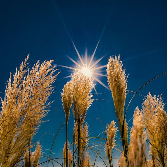 Pluimen in het tegenlicht van de zon als ster van Harrie Muis