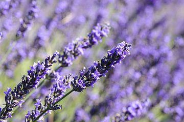 Lavendel van Barbara Brolsma